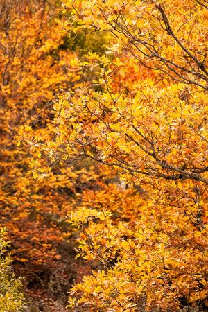 beechwood: Yellow forest background. Hayedo de Tejera Negra in Guadalajara, Spain Stock Photo