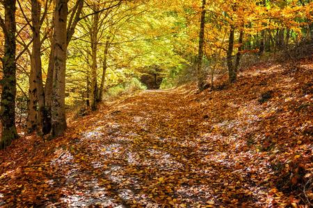 beechwood: Forest path in the fall. Hayedo de Tejera Negra in Guadalajara, Spain