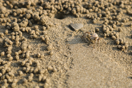 making hole: Ghost crab making sand balls on the beach. Small crab digging hole. Stock Photo