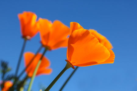 chaingmai: California poppy flower. View looking up towards blue sky.