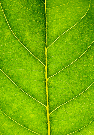 Close up on green leaf texture. Leaf veins macro view background.