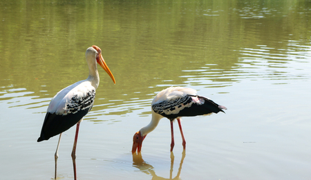 Painted storks feed in shallow wetlands.
