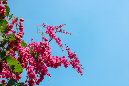 Beautiful flowering pink Coral Vine or Mexican creeper with blue sky. Close up pink flower ivy plant with worker bee. Фото со стока