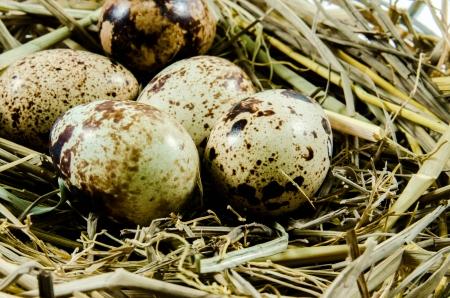 quail eggs in nest photo