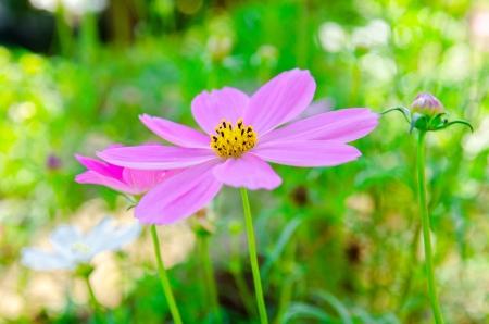 cav: Close-up pink Cosmos flowers   Cosmos sulphureus Cav