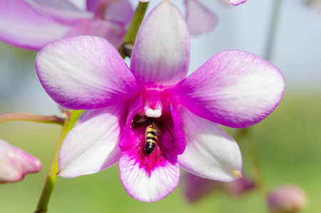 bluebonnet: Bee in beautiful orchid