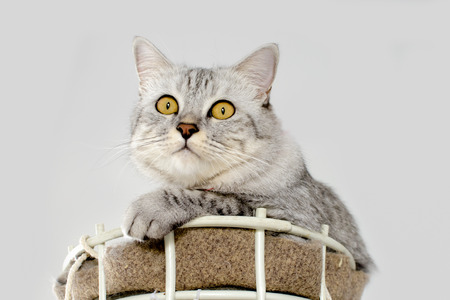 Beautiful cat lying in basket on white background