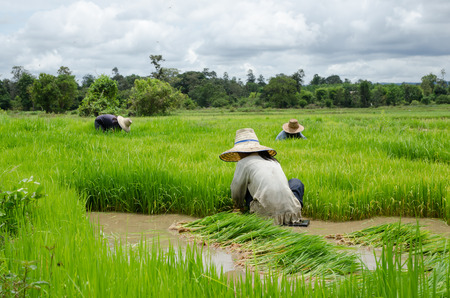 Rice farmers are withdrawing the seedlings to transplanting in farmland.