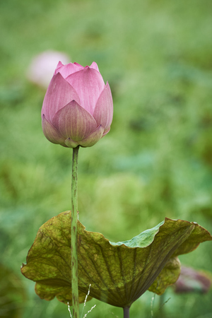 Beautiful Pink Lotus Flower And Lotus Leaf In Lake In Ubonratchathani Province, Thailand