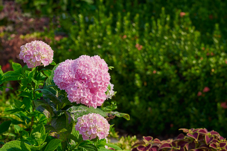 Beautiful Pink Hydrangea flowers On Blur Green Background With Monrning Sunlight Stock Photo