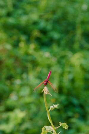Beautiful Pink Dragonfly On Green Blur Background.