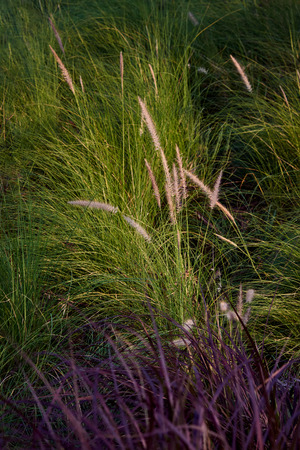 Beautiful Grass Flowers, Liliopsida Flower With Golden Sunlight In Monrning. Stock Photo