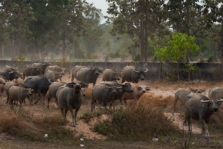 Group Of Thai Bufflo In Ubonratchathani Province. Stok Fotoğraf