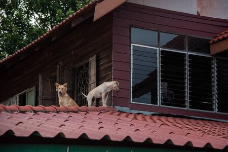 UBON RATCHATHANI, THAILAND- SEPTEMBER 22 : Dogs Stay On Roof House Damaged By Flood On September 22, 2019 In Tan Sum District Ubon Ratchathani Province, Thailand
