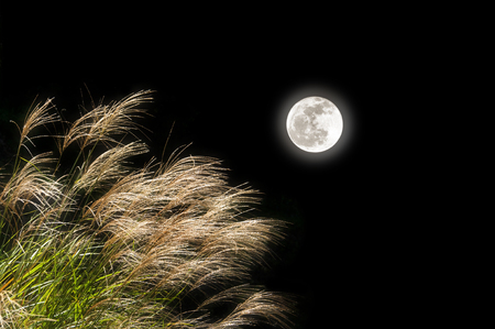 Japanese pampas grass and a full moon Stock Photo