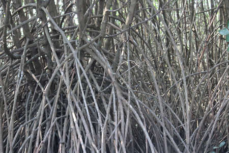 Lots of mangrove plants with long and deep roots into the marshy land 免版税图像