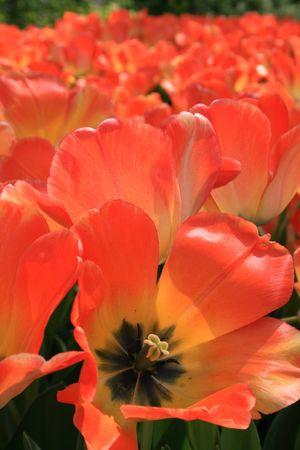 Tulips Фото со стока