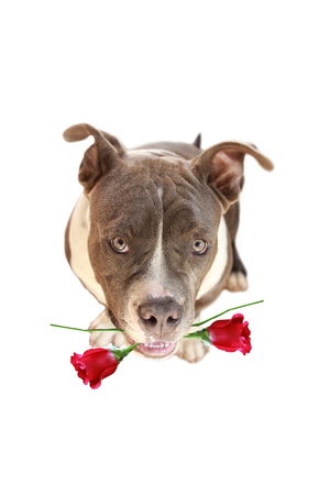 Bulldog, love holding a red rose.