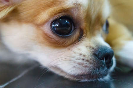 pampered pets: chihuahua puppies that are looking for something. Stock Photo