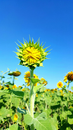 bluesky: Young sunflower in field under bluesky Stock Photo