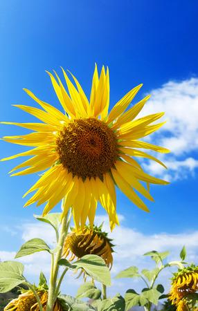 bluesky: Sunflower in field under bluesky