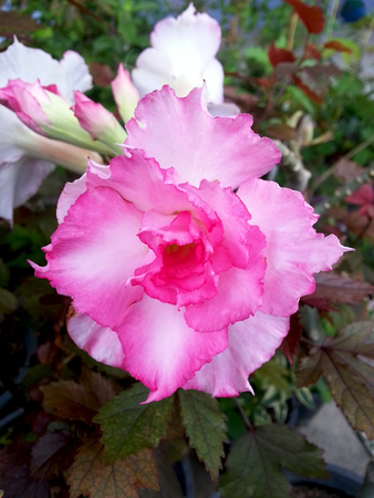 mock azalea: Pink color of Adenium obesum  Desert Rose  Impala Lily  Mock Azalea flowers blossom in the garden Stock Photo