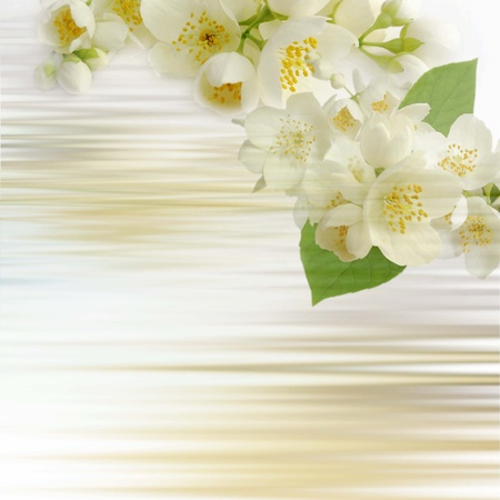 jessamine:  jasmine flowers background