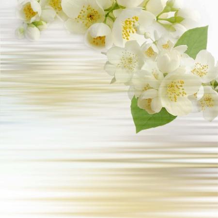 jasmine:  jasmine flowers background