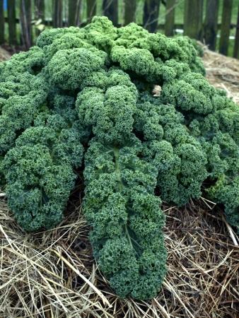 Curly kale in vegetable garden