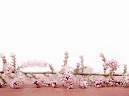 tamarix spring  Stock Photo