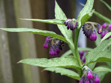 comfrey in the garden photo
