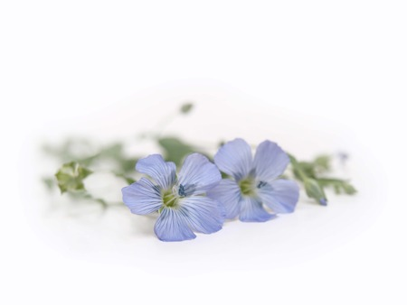 Blue Flax - Linum Lewisii