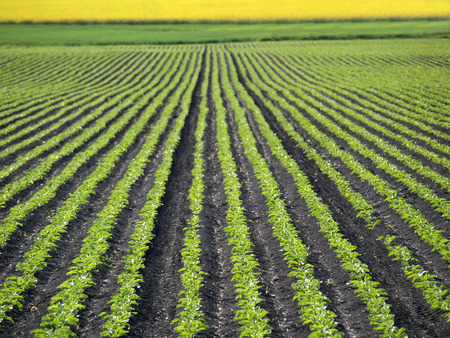 agriculture landscape: Sugar Beet Field