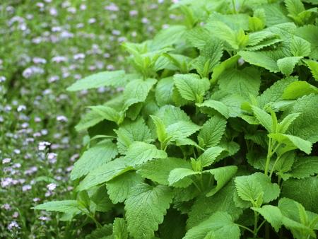 Lemon Balm in The Herbal Garden Stock Photo