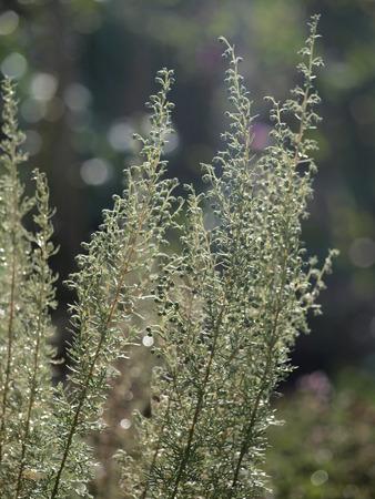 ajenjo: Artemisia en el jard�n de hierbas Foto de archivo
