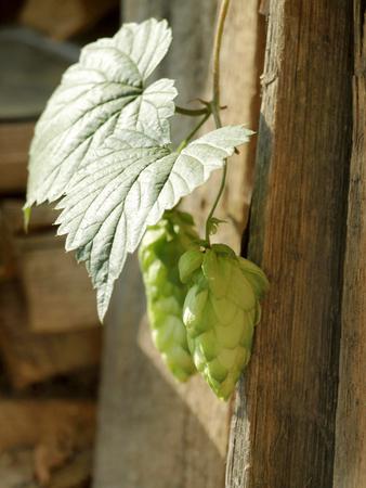 Hops Herb in Home Herbal Garden