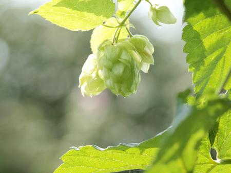 brewery: Hops Herb in Home Herbal Garden