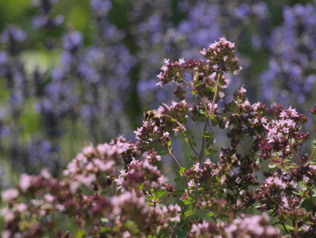Oregano, Lavender and Bee in the Herbal Garden Stock Photo