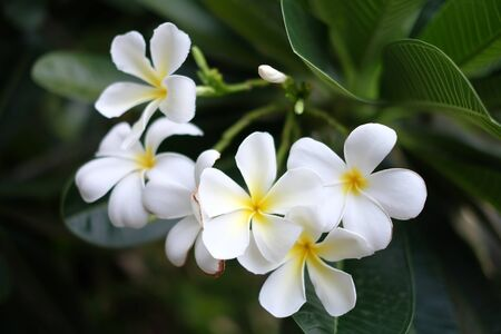 """Plumerias (frangipani) in Thaland, Thai people call """"lee la wa dee"""".It mean the flowers are beautiful and delicate."""