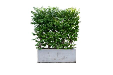 The tree that is used to decorate the garden in the house can be used to decorate photo for advertiser.