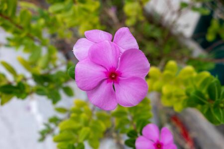 Some people apply Madagascar periwinkle directly to the skin to stop bleeding; relieve insect bites, wasp stings, and eye irritation; and treat infections and swelling (inflammation). Stock Photo