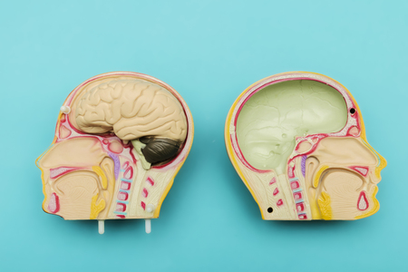 The brain is made of plastic. Skull structure of human Details of veins, bronchi, spine. To use in education.