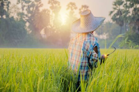 Thai farmers are checking rice plants. Collecting rice trees as an example in research to improve productivity. By using sickle harvesting, Rice is the main food of people. Standard-Bild