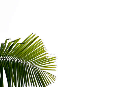Green leaves of palm tree isolated on white background, for use in advertising media decoration
