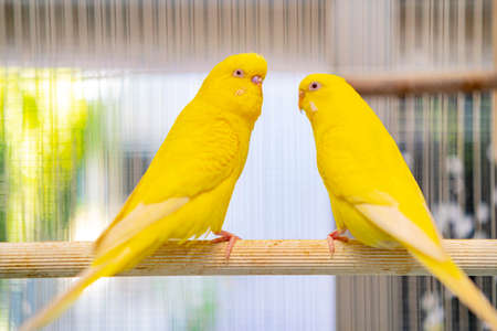 Lovebird parrots sitting together. This birds lives in the forest and is domesticated to domestic animals Standard-Bild