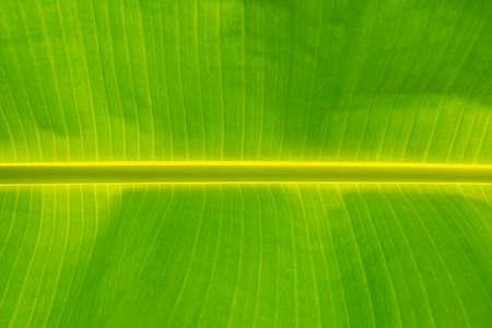 Banana leaves. Green banana leaf background abstract