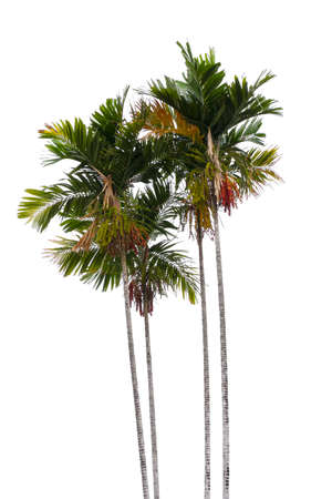 palm trees isolated on white background, Suitable for use in architectural design, Decoration work, Used with natural articles both on print and website.