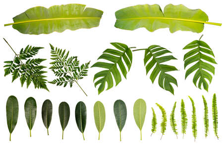 image green leaf of banana. Tropical Leaves. Different tropical leaves on white background