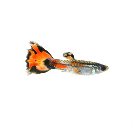 guppy on white background