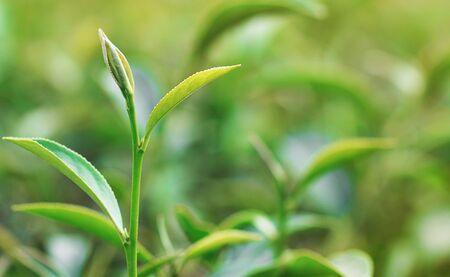fresh green tea leaves in garden 写真素材
